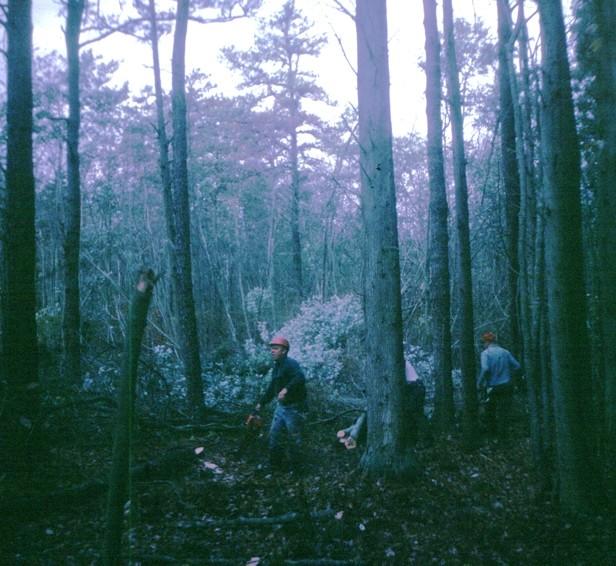 Men mining cedar in the swamp